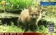 小区出现野生赤狐野保部门出手救助