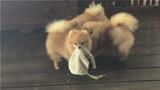 """三只漂亮的博美犬,""""小尖嘴""""美美哒"""