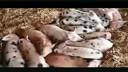 我竟然让一群猪给笑死了www.591bjp.com基因育根