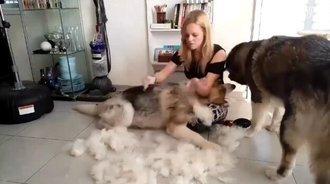 给阿拉斯加梳毛,雪橇三傻都是掉毛大户啊!