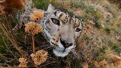 4k高清:野生雪豹嗅闻摄像头的录像镜头