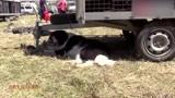 参加节日活动的大型松狮犬