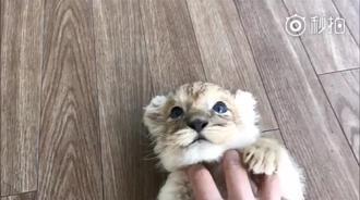 小狮子:混蛋不要把我当猫撸啊,我超凶的!