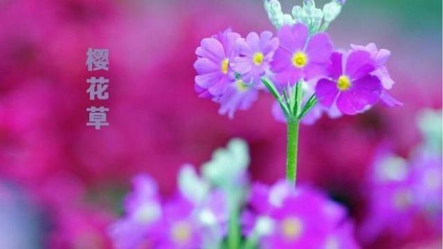 恋人手中《樱花草》春彩漫步的微笑,好甜蜜有木有