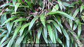 【镰翅羊耳蒜】粤东山行- 兰科植物vlog 05 —— 遇见长势良好的镰翅羊耳蒜群落,恰逢花期!