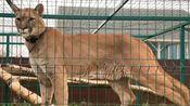 暴雨过后卡捷琳娜给家里的宠物都垫上了干草,许久不见美洲狮小淘气身强力壮很是活泼