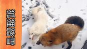 【狐狸踏雪】下雪咯,毛孩子们都很兴奋!院子里跑一会儿!fire和雪地可真配呀【宠物狐狸】【赤狐】【白化赤狐】【橘猫】