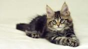 大家常说的狸花猫指的是哪种猫?狸花猫好养吗?