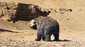 七十七天(片段)你被狼吓跪熊被你吓懵