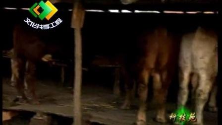架子牛快速肥育技术