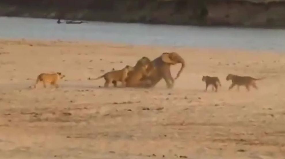 十二头狮子围攻5000斤大象,爆发后的大象不可阻挡!
