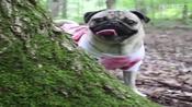 巴哥犬Doug的一天~搞笑萌向-一犬一话字幕组-一犬一话
