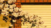 Ryu的日本留学 | 学校旁边就是知名景点?下课去撸猫顺便看到了樱吹雪!
