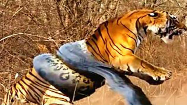 巨蟒蛇攻击老虎