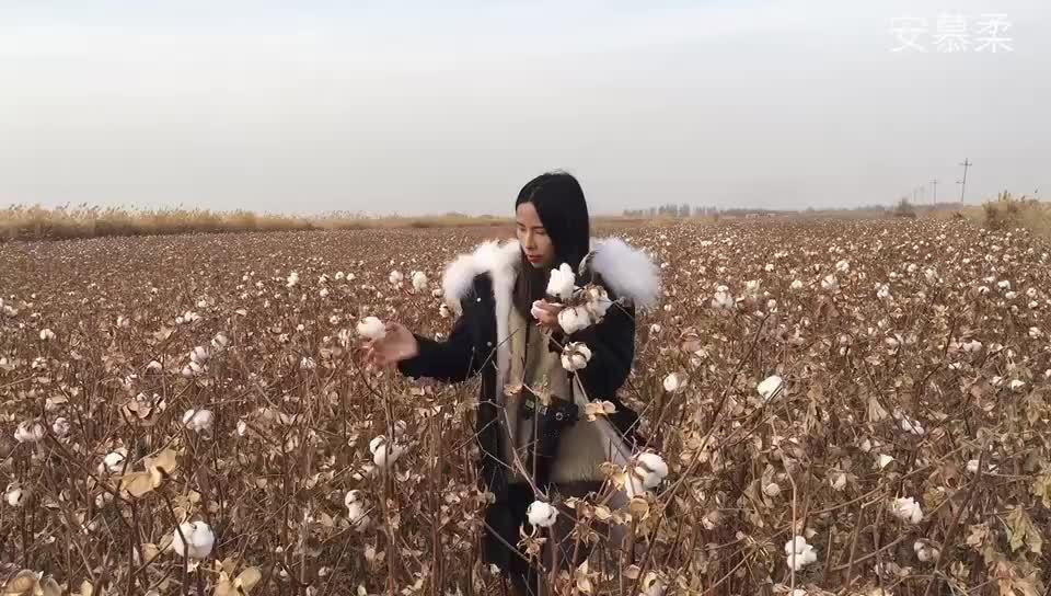 广东美女千里走新疆帮助种棉花农民网络推广销售滞销的棉花
