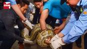 店主吓懵!佛山一商铺天花板掉下40斤大蟒蛇,藏身在此或有10年