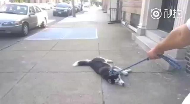 有一种狗叫做带的出去,带不回家!二哈:我不做宅男,我要母狗我要女朋友!好倔的牛