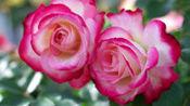 红蔷薇一首伤感情歌《就这样想着你》好听极了