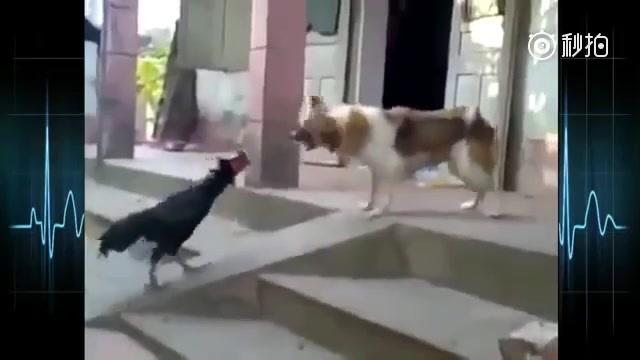鸡狗大战视频集锦:明年过年还能顺利交接生肖吗?