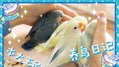 【牡丹鹦鹉】鸟宝宝准备断奶学吃鸟粮~yana收到神秘快递?宝小篇005