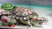 巴西龟属于杂食性动物 可投喂的食物种类繁多