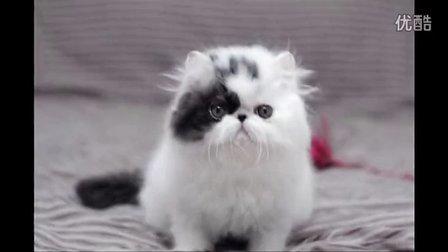 五星旗猫舍 加菲猫异国短毛猫 黑白梵文弟弟完美!