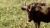 动物世界:一角马单挑三只猎豹,辣眼睛 !