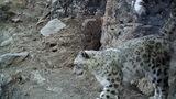 甘肃祁连山境内拍到4只雪豹同时漫步场景