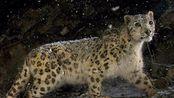 相机陷阱捕捉到的中国野生雪豹的影像资料