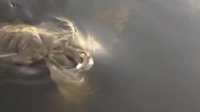 罕见一幕:鲶鱼攻击乌龟