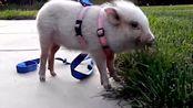 宠物猪也是人类的朋友,既可爱又温顺