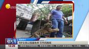 福建泉州:9岁女孩公园遛老虎  引市民围观