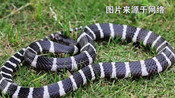 女孩网购银环蛇当宠物被咬伤 经抢救仍无自主呼吸