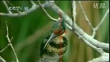 绿翠鸟捕食