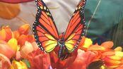 f419 超唯美蝴蝶在盛开的鲜花花朵上翩翩起舞大自然景色舞台晚会背景视频素材