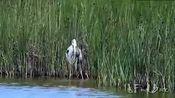 为报杀子之仇,这只鸟守在满是鳄鱼河流中寻找小鳄鱼,并吃了一条