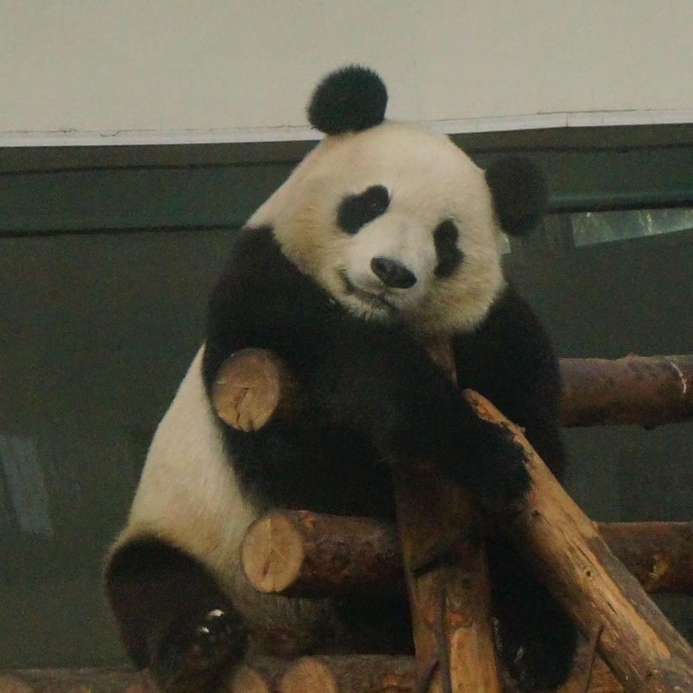 大熊猫喜乐的日常20161023