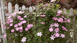 《小园艺》:种一株藤 爬满墙 开满花