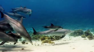 智力发达的宽吻海豚,懂得用柳珊瑚杀菌消炎