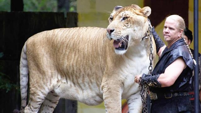 杂交动物也有炫酷的一面!重达一吨的狮子,手比人还粗!