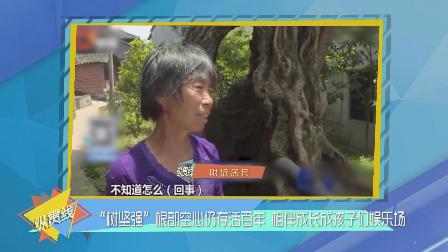 """""""树坚强""""根部空心扔存活百年 成孩子娱乐场"""