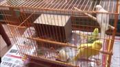 如何饲养一只听话帅气的虎皮鹦鹉