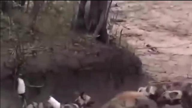 鬣狗落单遭到野狗群的攻击