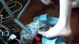 可爱折耳猫1