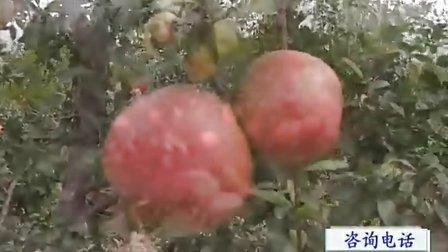 果树种植技术 农业致富 农业招商 农业种植项目