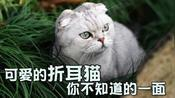 萌宠一家亲:看似可爱的折耳猫,没想到在它背后有这样的秘密!?