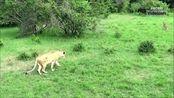 视频:丛林法则胜者为王