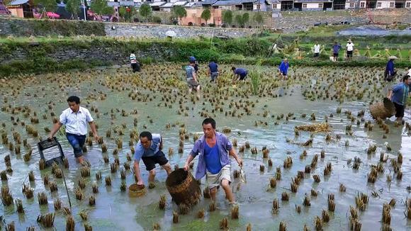 老洞苗寨农民丰收后在稻田里抓稻花鱼其乐无穷