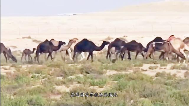 两邻国关系恶化,骆驼成最大受害者,大批骆驼被驱赶惨死沙漠