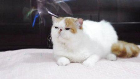 五星旗猫舍 异国短毛猫 加菲猫 红白梵文弟弟
